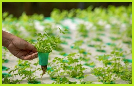 Cultivo hidropónico huerta hidropónica fertilizantes hidroponía www.abonosfertilizantesyplantas.com