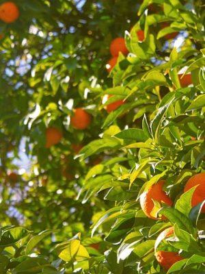 Poda de mantenimiento en citricos naranjos y limoneros paso a paso